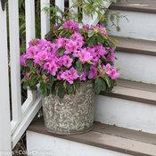 bloom-a-thon_lavender_azalea-7.jpg