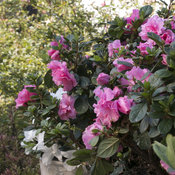 bloom-a-thon_pink_double_10.jpg