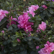bloom-a-thon_pink_double_23.jpg