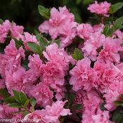 bloom-a-thon_pink_double_azalea-4.jpg