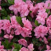 bloom-a-thon_pink_double_azalea_2.jpg
