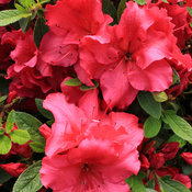 bloom-a-thon_red_azalea-2.jpg