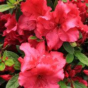 bloom-a-thon_red_azalea-2.jpg