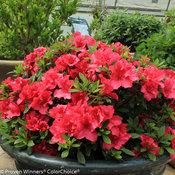 bloom-a-thon_red_azalea.jpg
