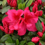 bloom-a-thon_red_rhododendron-5664.jpg