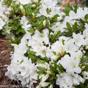 bloom-a-thon_white_azalea-4.jpg