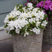 bloom-a-thon_white_azalea-6.jpg