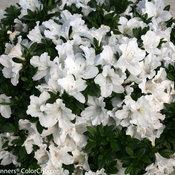 Bloom-A-Thon White Rhododendron (azalea)