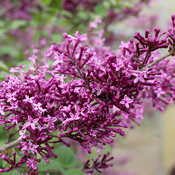 bloomerang_dark_purple_lilac_bloom.jpg