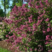 bloomerang_dark_purple_lilac_plant.jpg