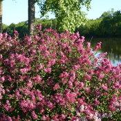 bloomerang_dark_purple_reblooming_lilac.jpg