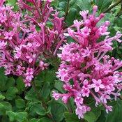 Bloomerang® Dwarf Pink - Reblooming Lilac - Syringa x
