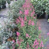 bloomerang_dwarf_pink_lilac_2.jpg