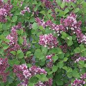 Bloomerang® Dwarf Purple - Reblooming Lilac - Syringa x