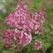 bloomerang_pink_perfume_syringa_1.jpg