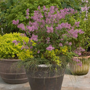 bloomerang_purple_syringa-0862.jpg