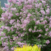 bloomerang_purple_syringa-1359.jpg