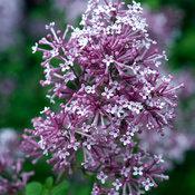 Bloomerang Purple Syringa (lilac)