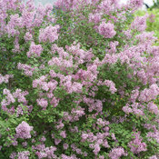 bloomerang_purple_syringa-1366.jpg