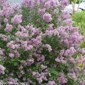bloomerang_purple_syringa-1369.jpg