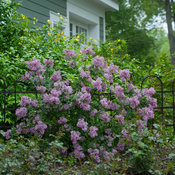 bloomerang_purple_syringa-1533.jpg