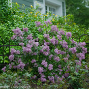 bloomerang_purple_syringa-1557.jpg