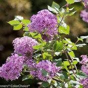 bloomerang_purple_syringa-8801.jpg