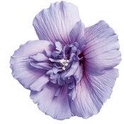 BlossomBlueChiffon01.jpg