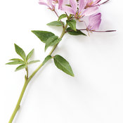 BlossomSnrtaRosalita02.jpg