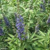Blue Diddley Vitex (Chastetree)