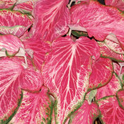 Heart to Heart™ 'Blushing Bride' - Sun or Shade Caladium - Caladium hortulanum