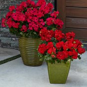 Boldly-Hot-Pink-Boldly-Dark-Red-Pelargonium.jpg