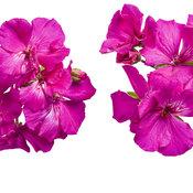 boldly_lavender_rose.jpg
