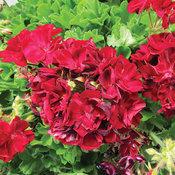Boldly® Burgundy - Geranium - Pelargonium interspecific