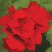Boldly® Dark Red - Geranium - Pelargonium interspecific
