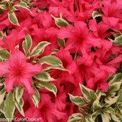 bollywood_rhododendron-5685.jpg