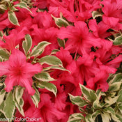 bollywood_rhododendron-5685.jpg