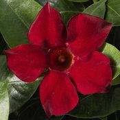 Bombshell® Red - Mandevilla hybrid