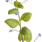 brunnera_jack_of_diamonds_01-macro.jpg