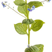 brunnera_jack_of_diamonds_03-macro.jpg