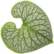 brunnera_jack_of_diamonds_04-macro.jpg