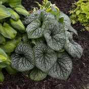 brunnera_jack_of_diamonds_apj17_2.jpg