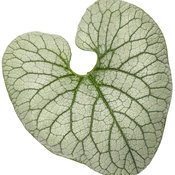 brunnera_queen_of_hearts_04-macro.jpg