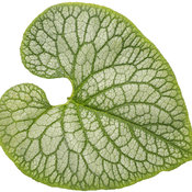 brunnera_queen_of_hearts_05-macro.jpg