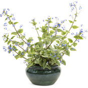 brunnera_queen_of_hearts_w_blossom.jpg