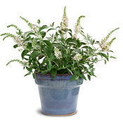 buddleia_ice_chip_in_deco_pot.jpg