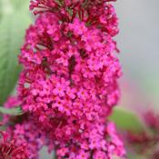 Buddleia 'Miss Molly' (butterfly bush)