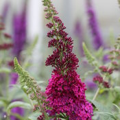 buddleia_miss_molly_img_8230.jpg