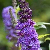 buddleia_purple_emperor_crw_3787.jpg