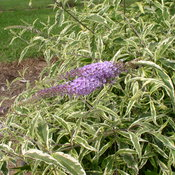 buddleia_summer_skies_p8180003.jpg